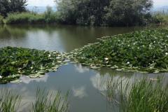 Кувшинки. Монастырское озеро.